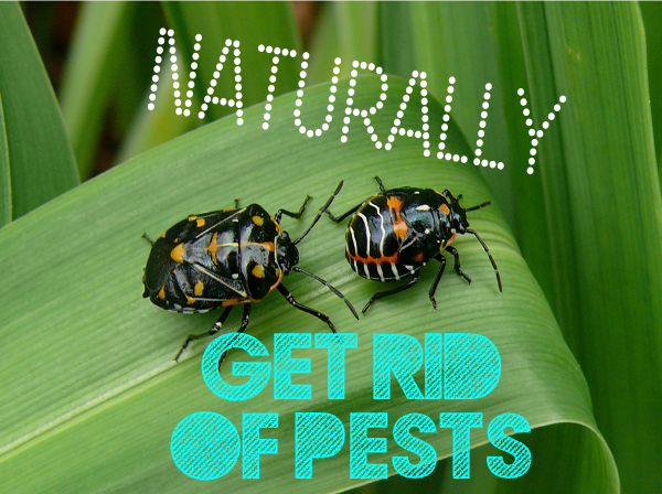 Naturally Get Rid of Pests